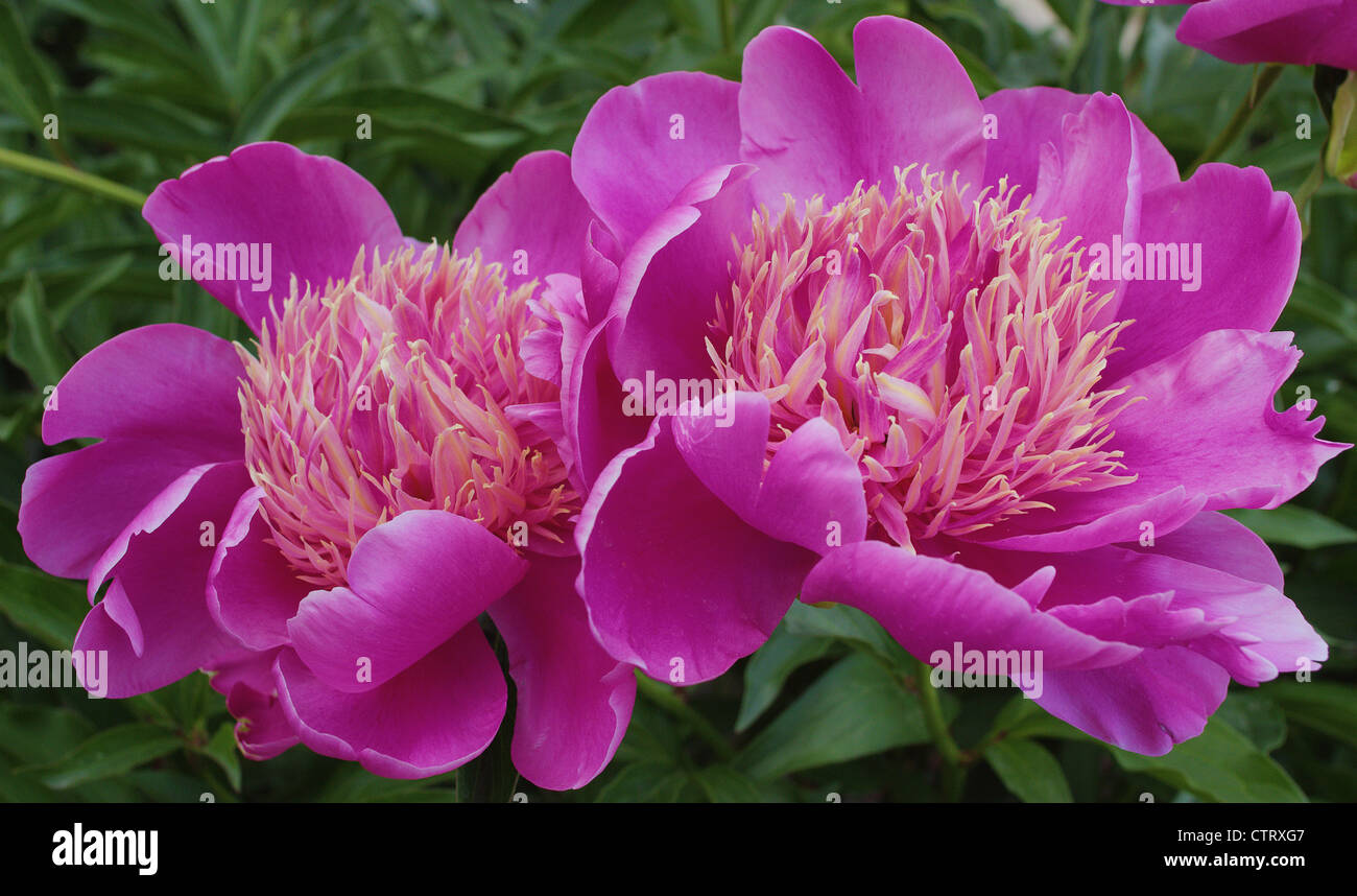 Two pink peonies flowers close up Peonia Stock Photo