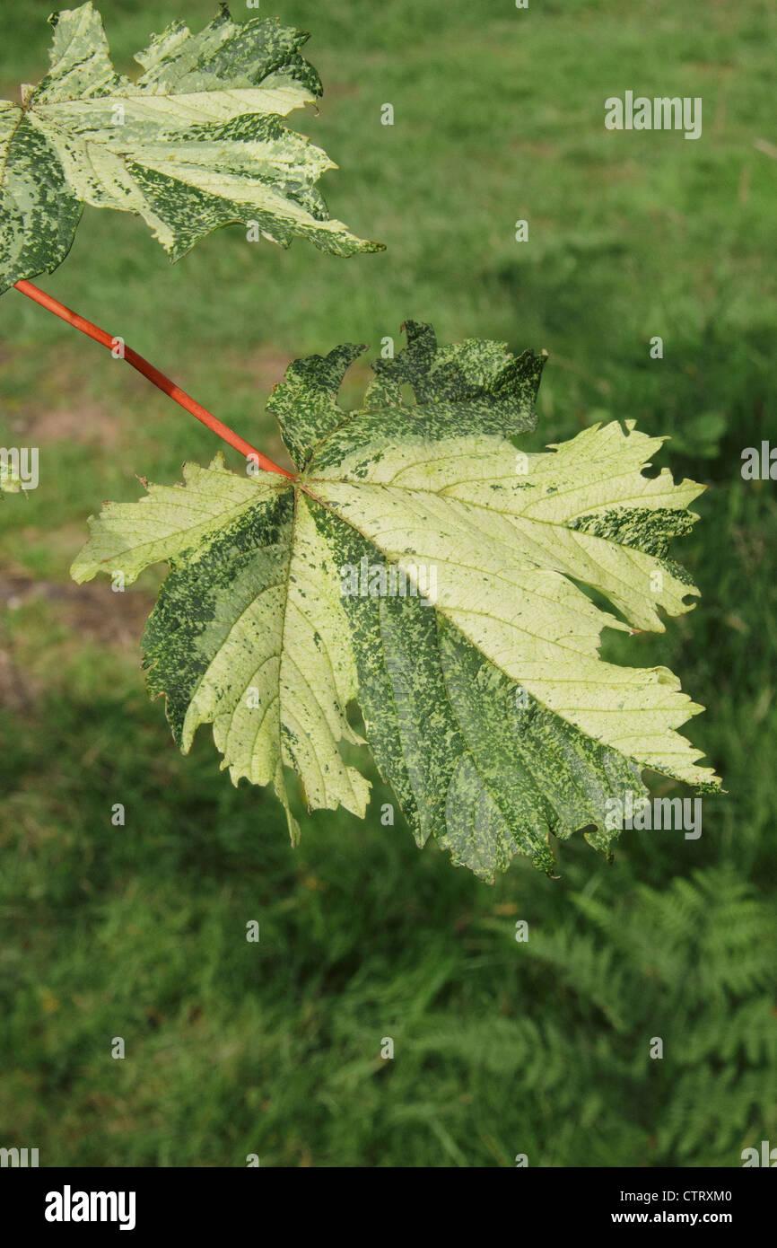 Acer Pseudoplatanus Brilliantissimum Leaves In Summer Stock Photo