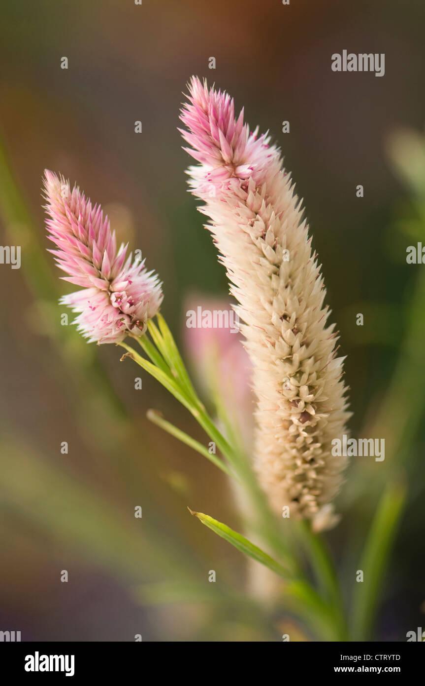 Celosia argentea spicata 'Flamingo Feather', Flamingo feather, Pink. Stock Photo