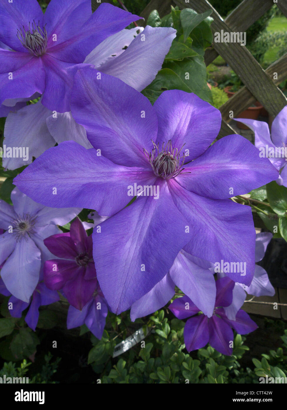 Clematis 'Shimmer' - Stock Image
