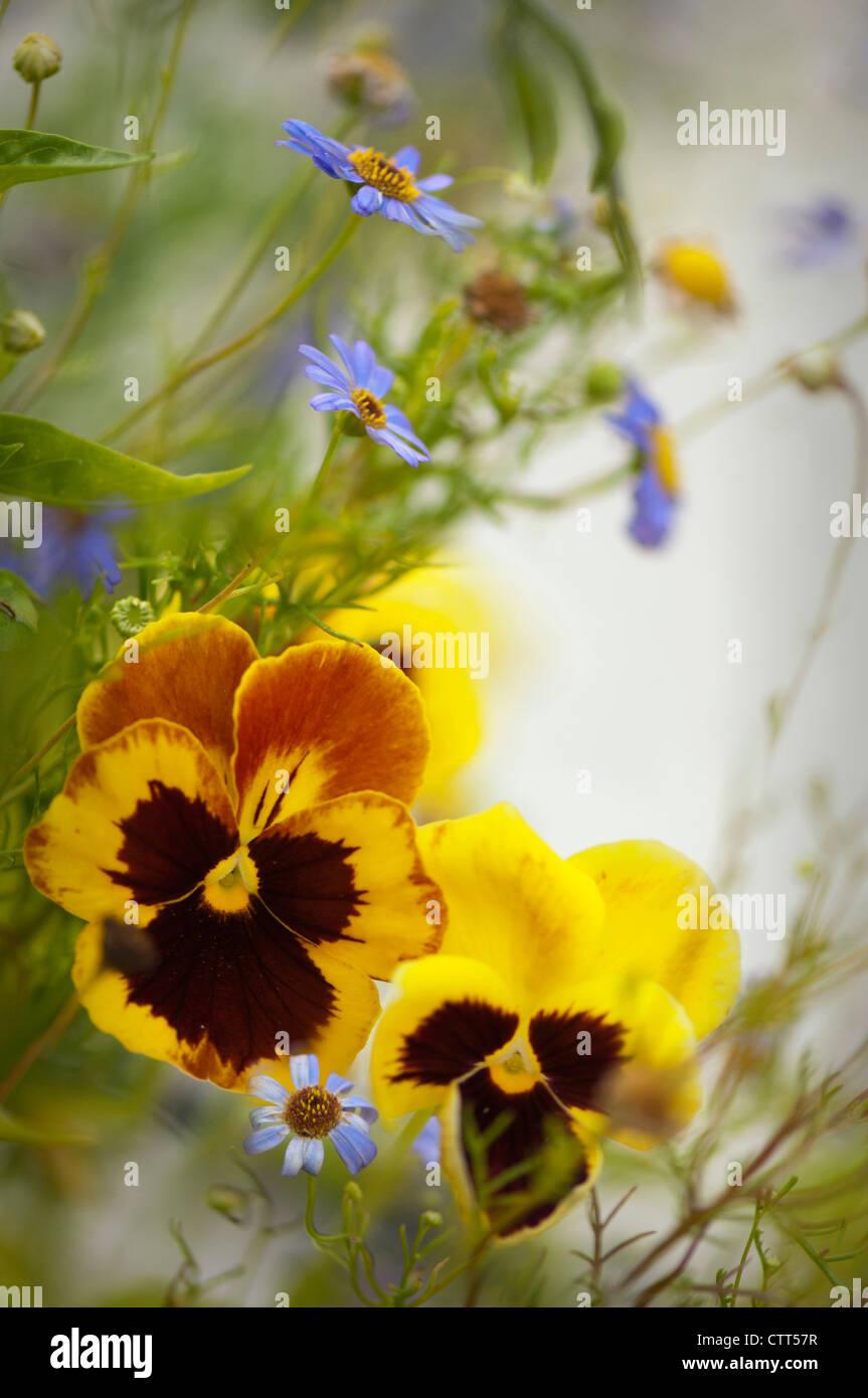 Viola x wittrockiana cultivar, Pansy, Yellow. - Stock Image