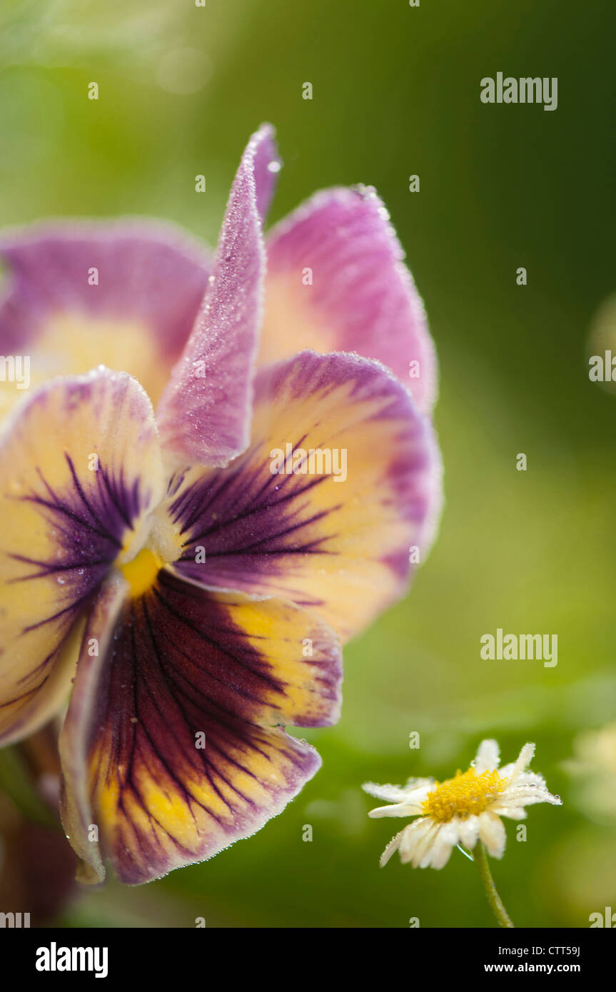 Viola x wittrockiana cultivar, Pansy, Purple, Green. - Stock Image