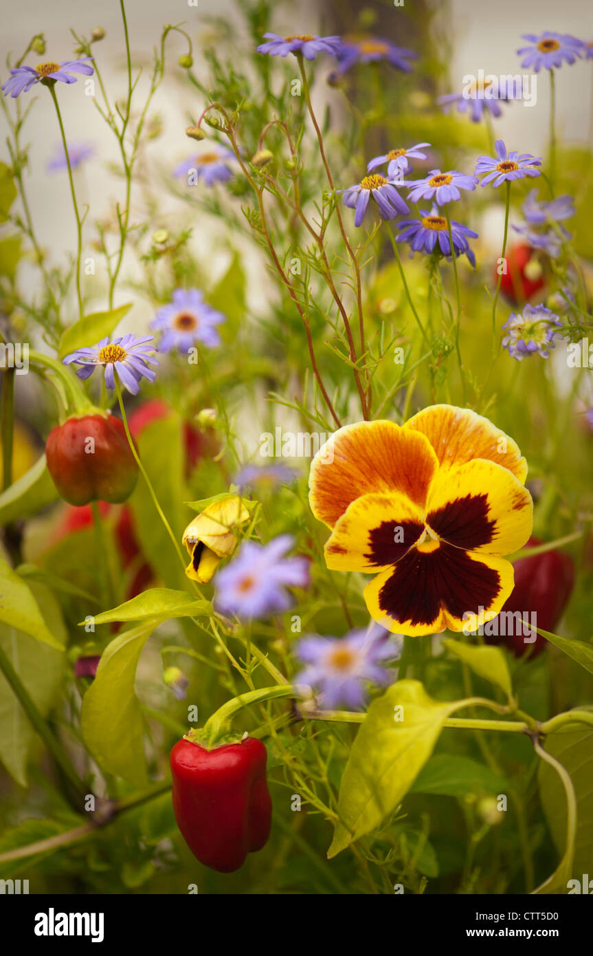 Viola x wittrockiana cultivar, Pansy, Mixed colours. - Stock Image