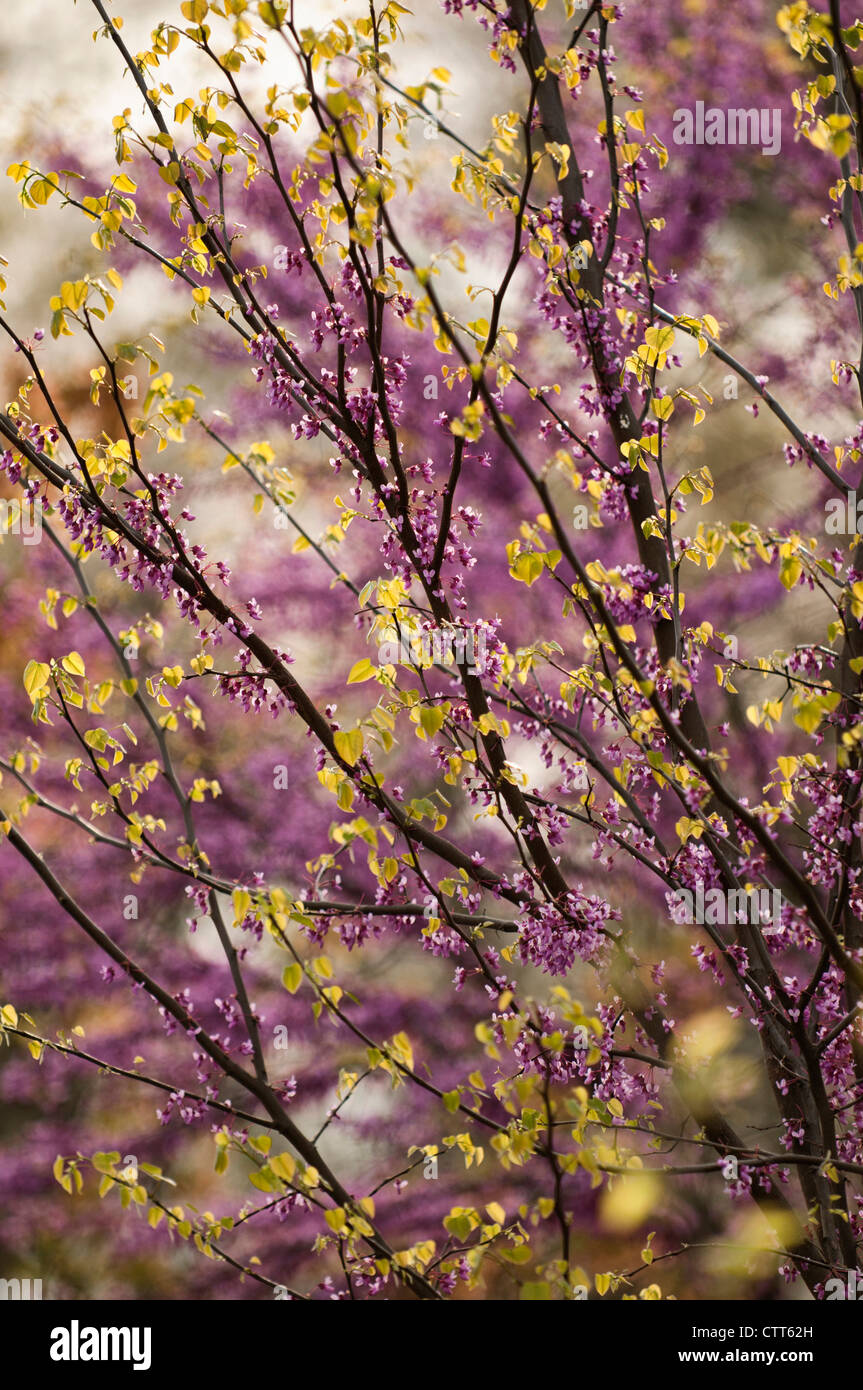 Cercis canadensis, Forest pansy, Purple. - Stock Image
