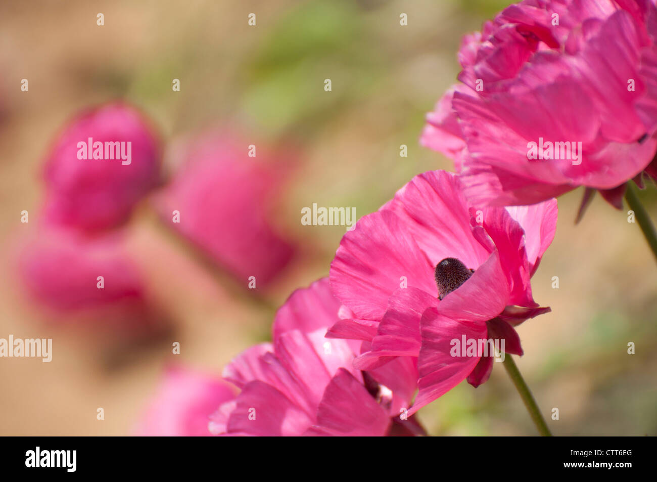 Pink Poppy Flower Stock Photos Pink Poppy Flower Stock Images