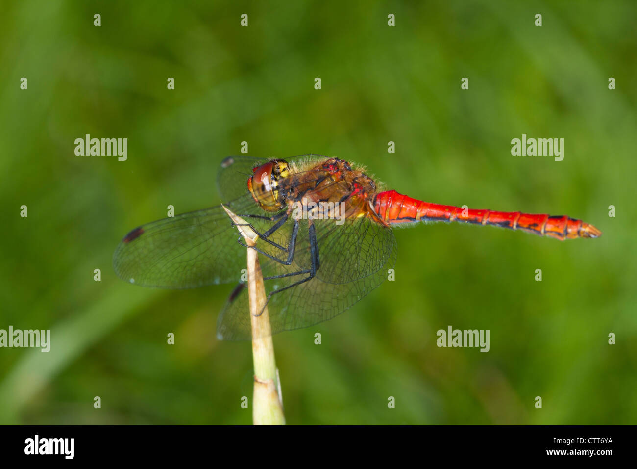 male Ruddy Darter (Sympetrum sanguineum) perched on a reed Stock Photo