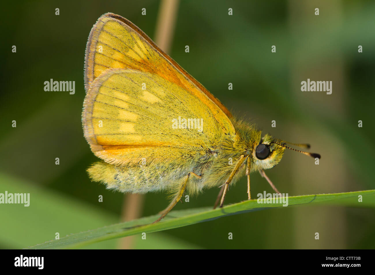 Large Skipper (Ochlodes venatus) at rest on a blade of grass Stock Photo