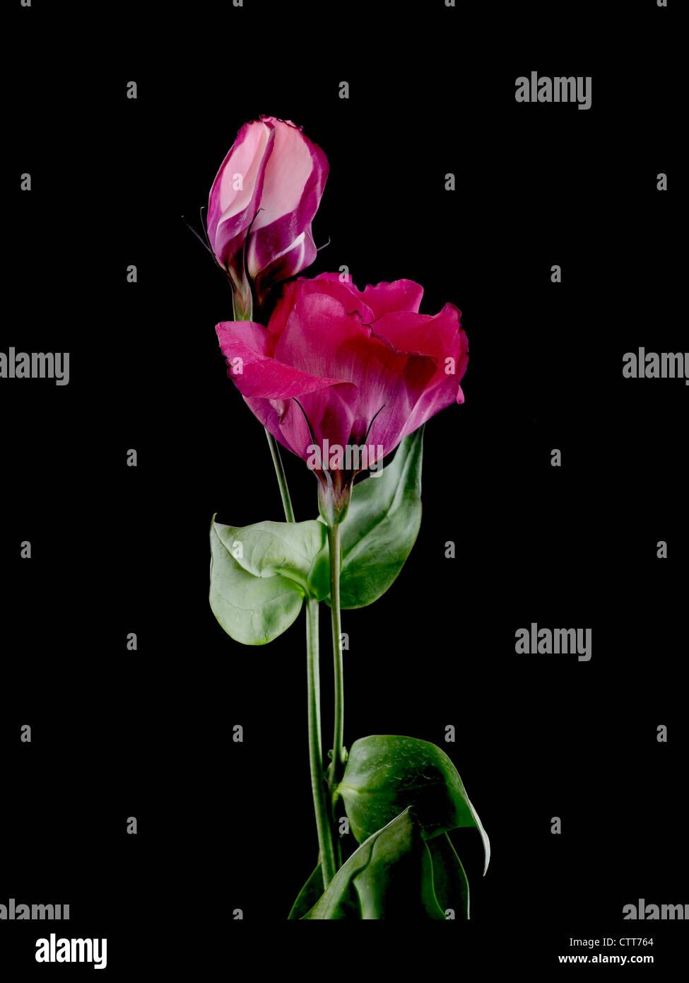 Eustoma cultivar, Lisianthus, Pink, Black. - Stock Image