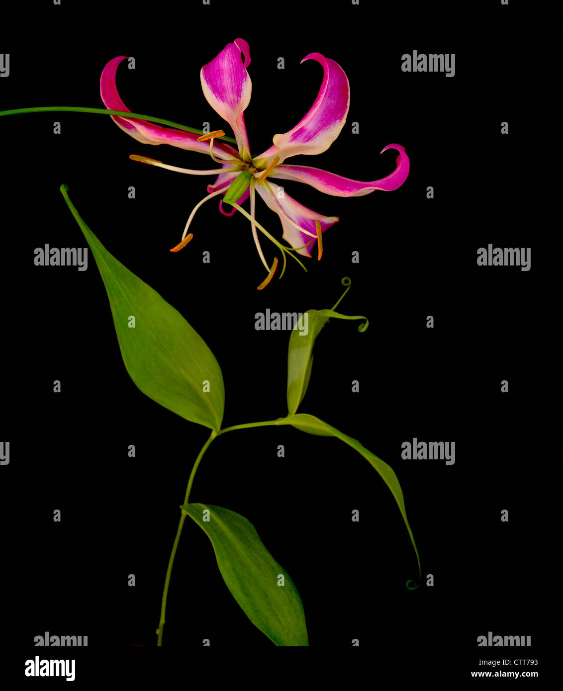 Gloriosa superba 'Rothschildiana', Gloriosa lily, Pink, Black. - Stock Image