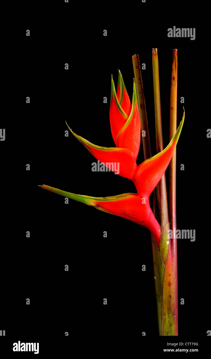 Heliconia wagneriana cultivar, Heliconia, Red, Black. - Stock Image