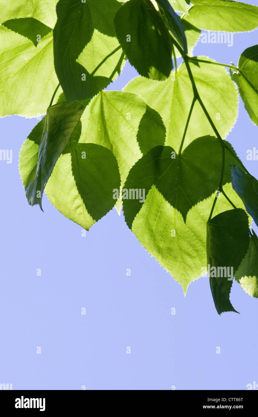 Tilia cultivar, Linden, Lime tree, Green, Blue. Stock Photo