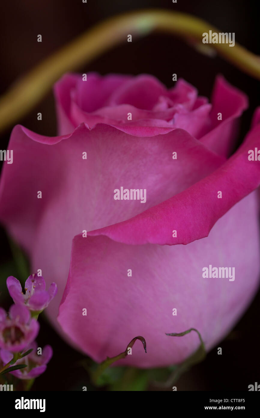 Fuchsia Pink Rose With Curly Willow And Pink Filler Flowers Stock