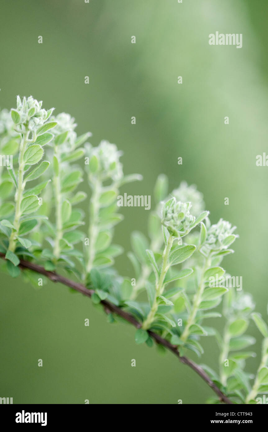 Plant, variety not identified, Green, Green. - Stock Image