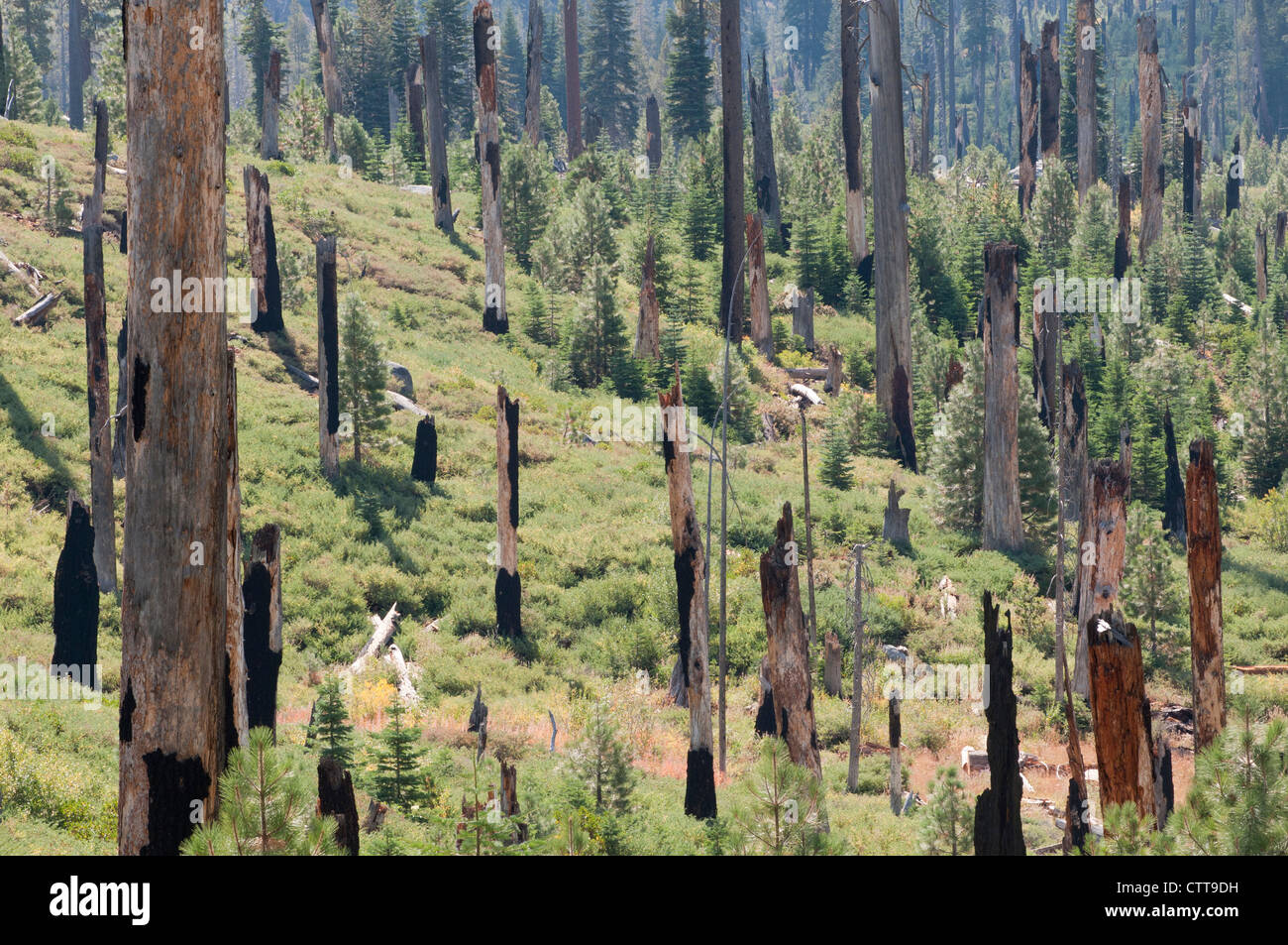 Conifer cultivar, Conifer, Green. Stock Photo