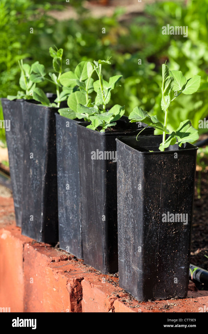 Snow peas growing in deep plastic pots - Stock Image