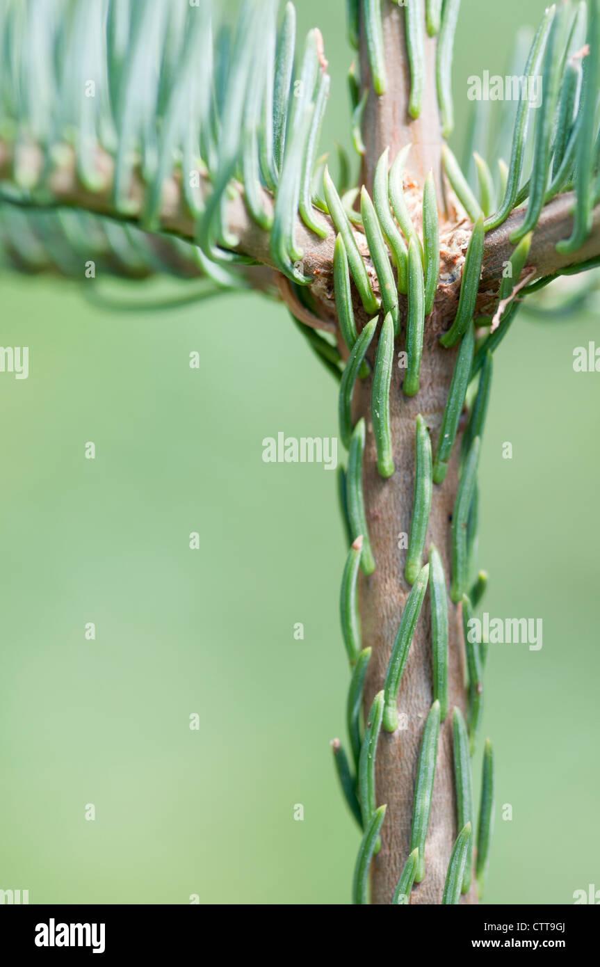 Conifer cultivar, Conifer, Green, Green. - Stock Image