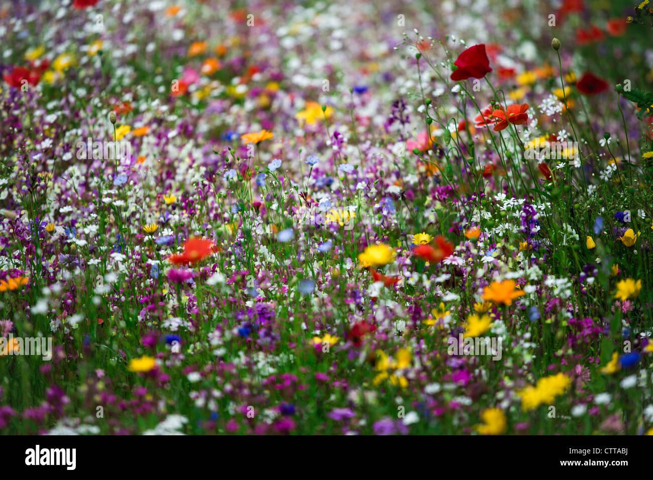 Wild flowers growing in Birmingham, UK - Stock Image
