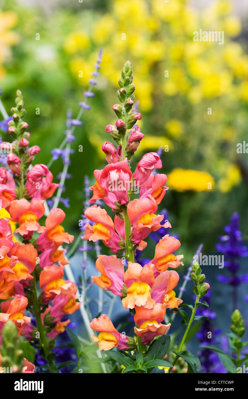 Antirrhinum. Snapdragon growing in a flower border. - Stock Image