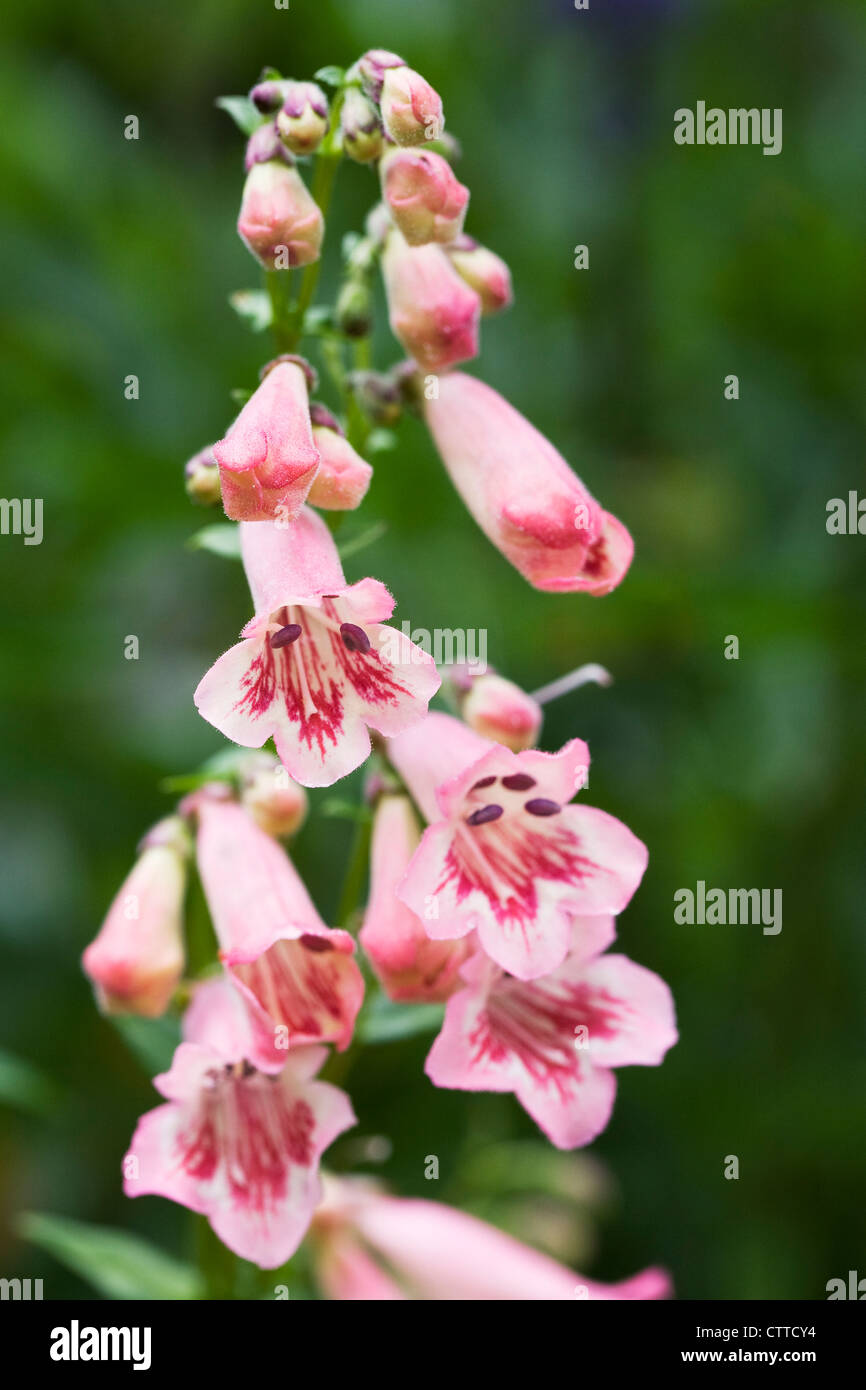 Penstemon 'Hidcote Pink' growing in the border. Beard Tongue flower. - Stock Image