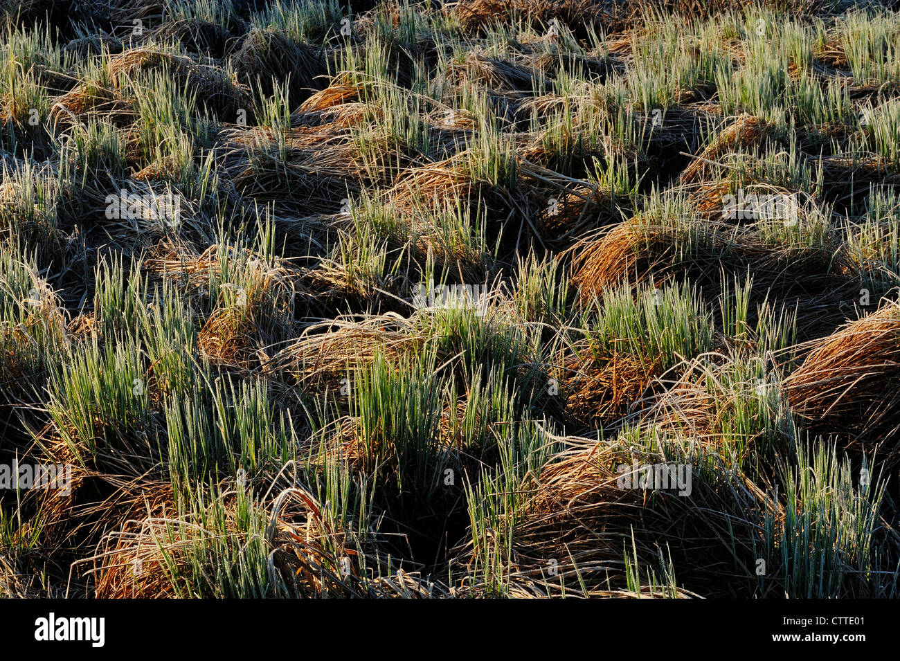 Frosted marsh grasses in early spring, Greater Sudbury, Ontario, Canada - Stock Image