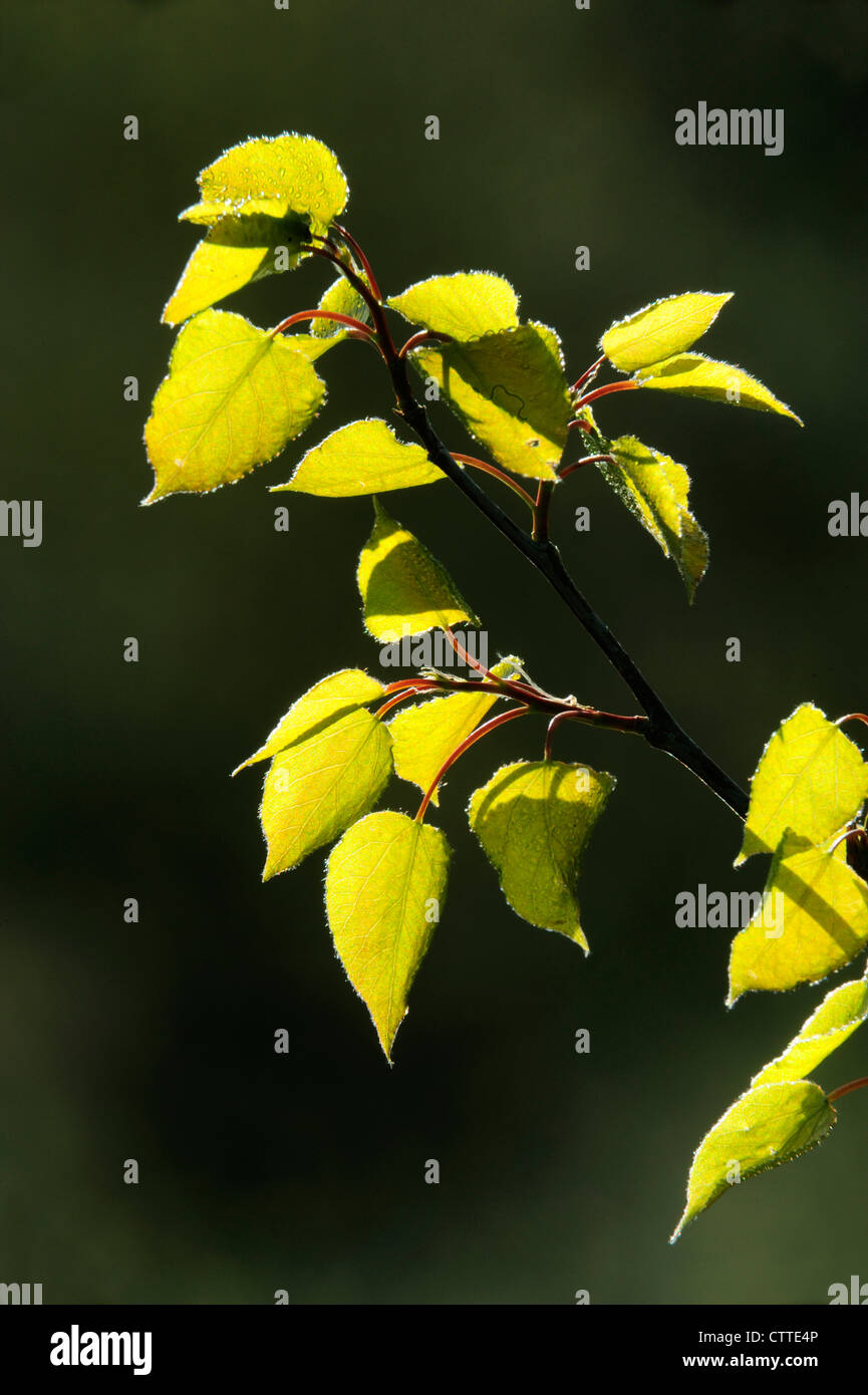 White birch (Betula papyrifera) Emerging leaves, Greater Sudbury, Ontario, Canada - Stock Image