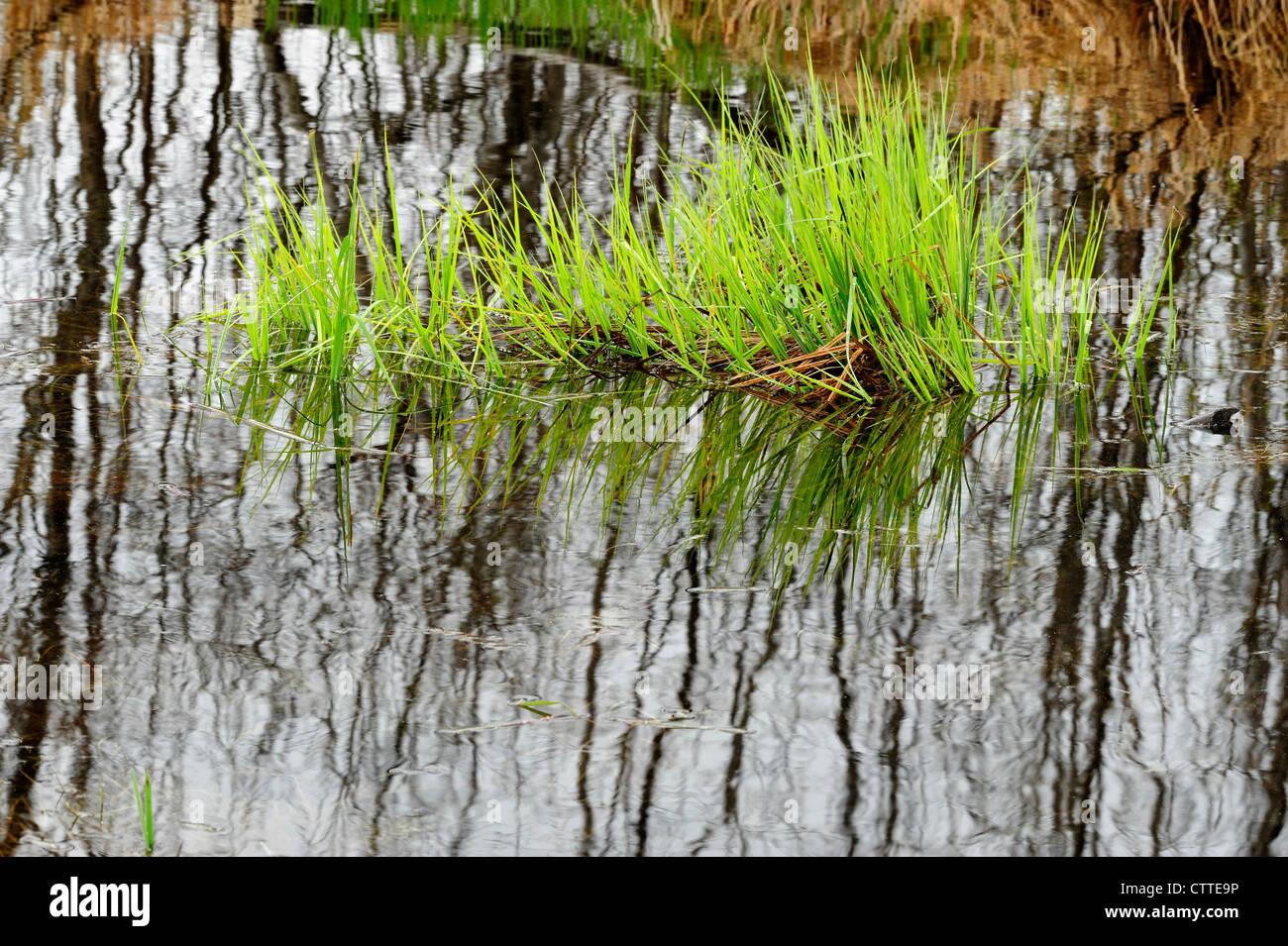 Marsh grasses in beaverpond, Greater Sudbury, Ontario, Canada - Stock Image