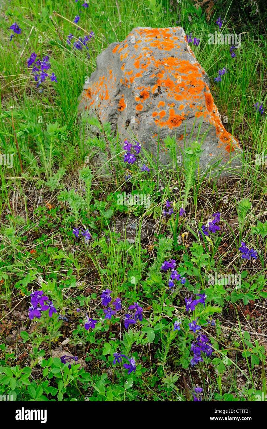 Lichen-covered rock and Nuttal's larkspur (Delphinium nuttalianum) colony, Yellowstone National Park Wyoming, - Stock Image