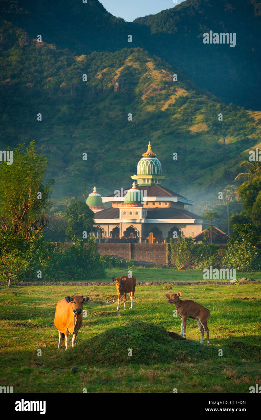 Cows graze near a Mosque in the seaside village of Pemuteran, Bali, Indonesia early one morning. - Stock Image