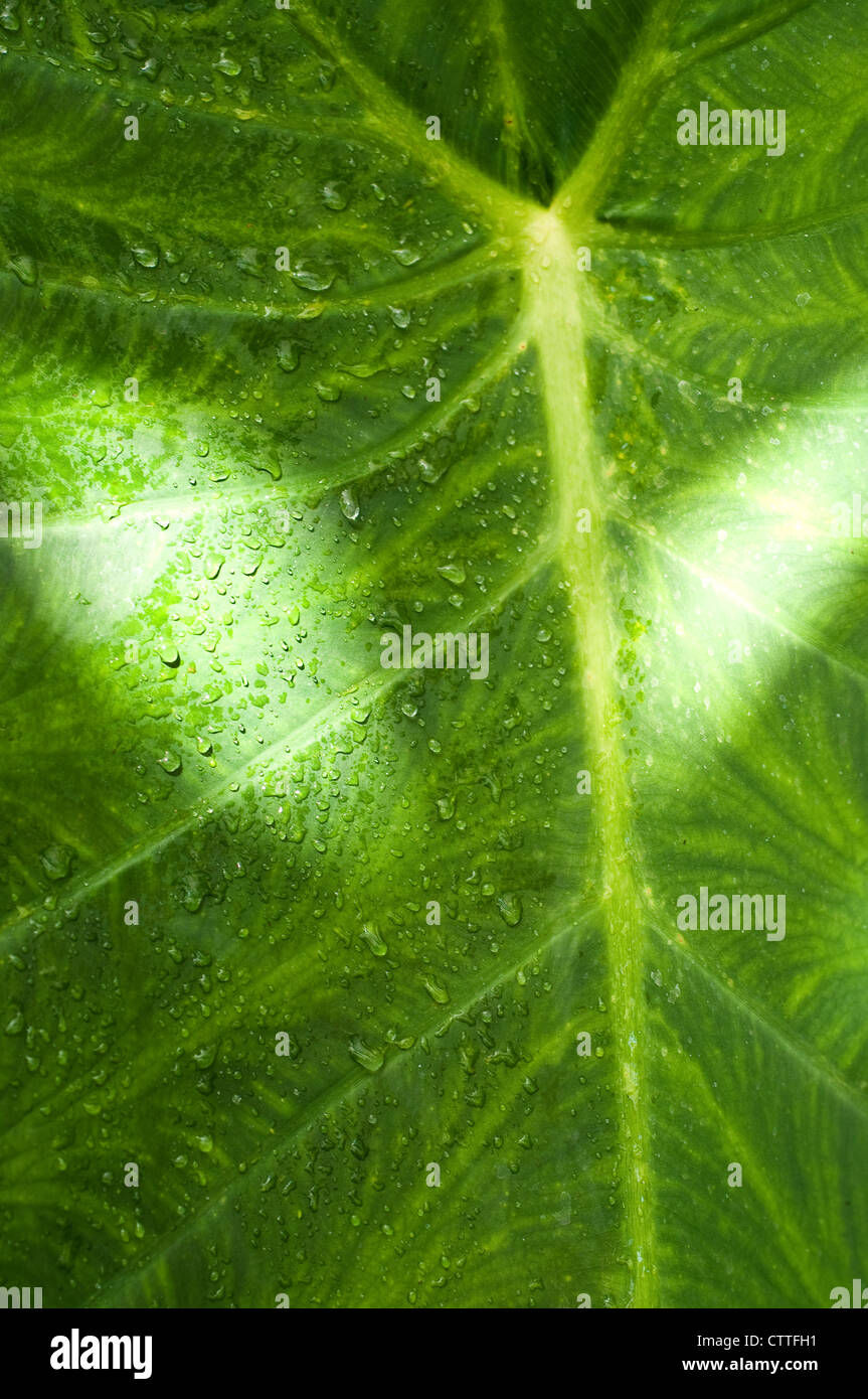 Leaf with rain drops - Stock Image