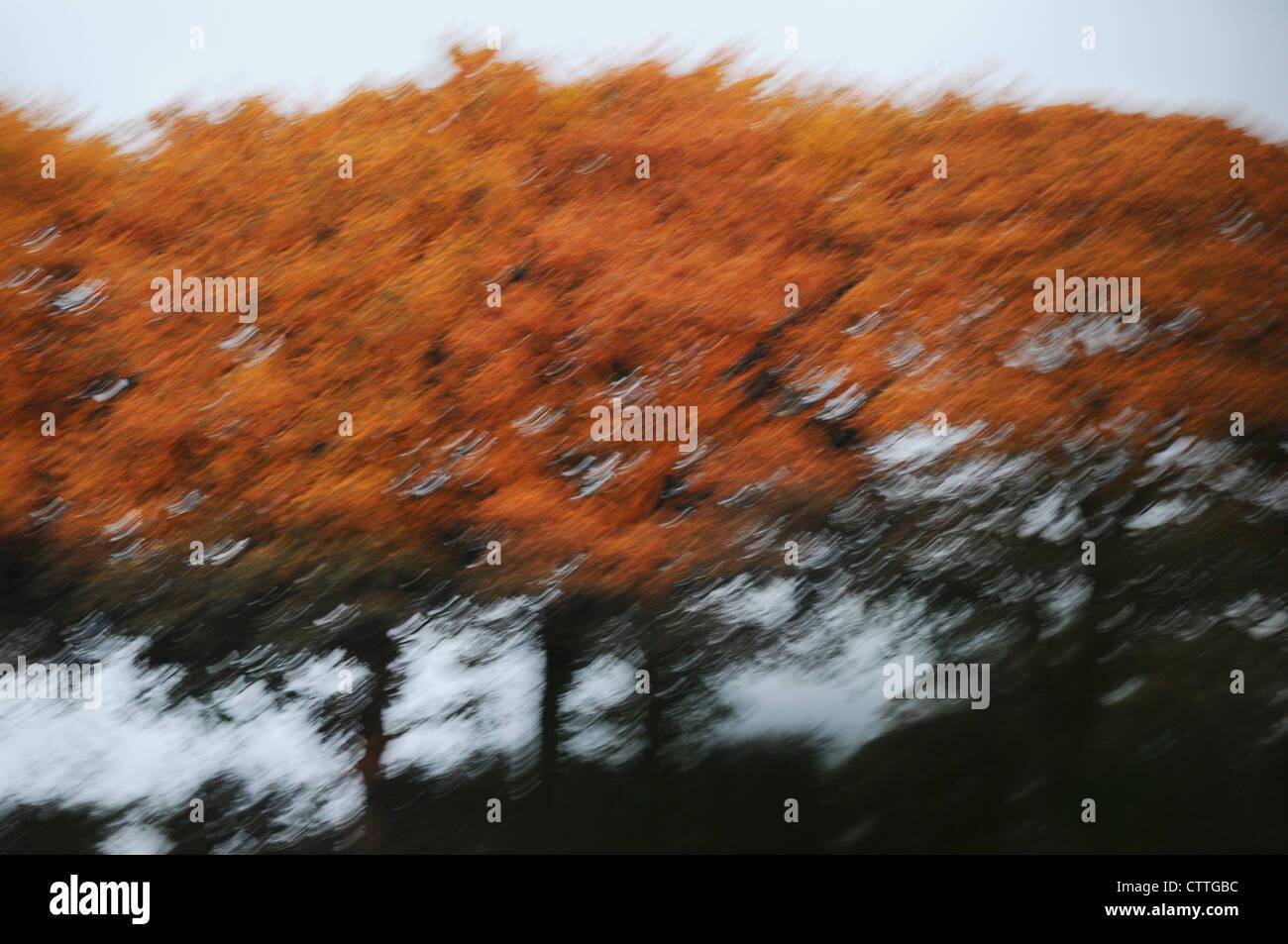 Blurred Beech Trees, Fagus sylvatica  autumnal golden orange russet brown beech trees - Stock Image
