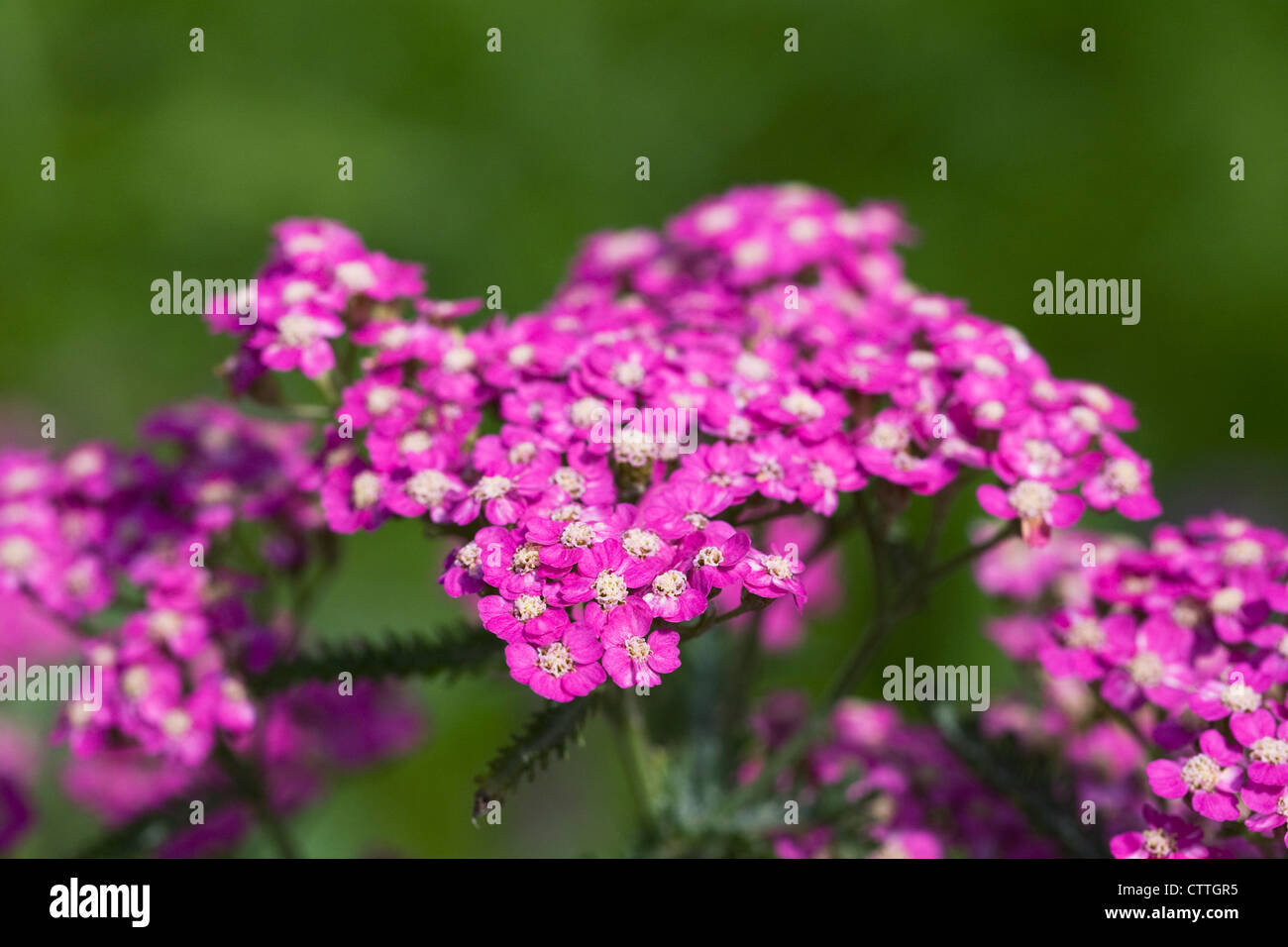 Achillea millefolium. Yarrow growing in the garden. - Stock Image