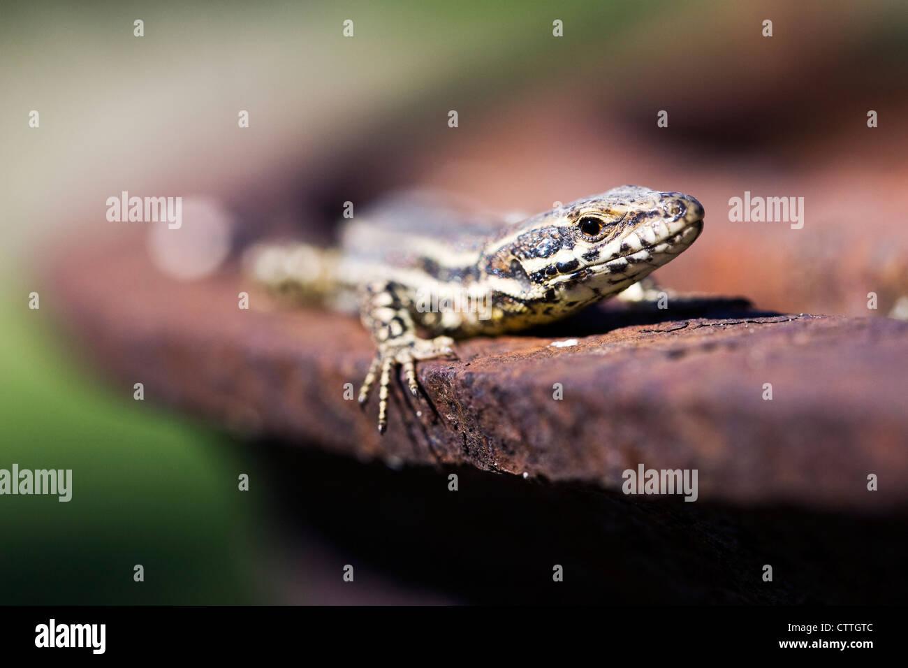 Podarcis muralis. Europaean wall lizard. - Stock Image