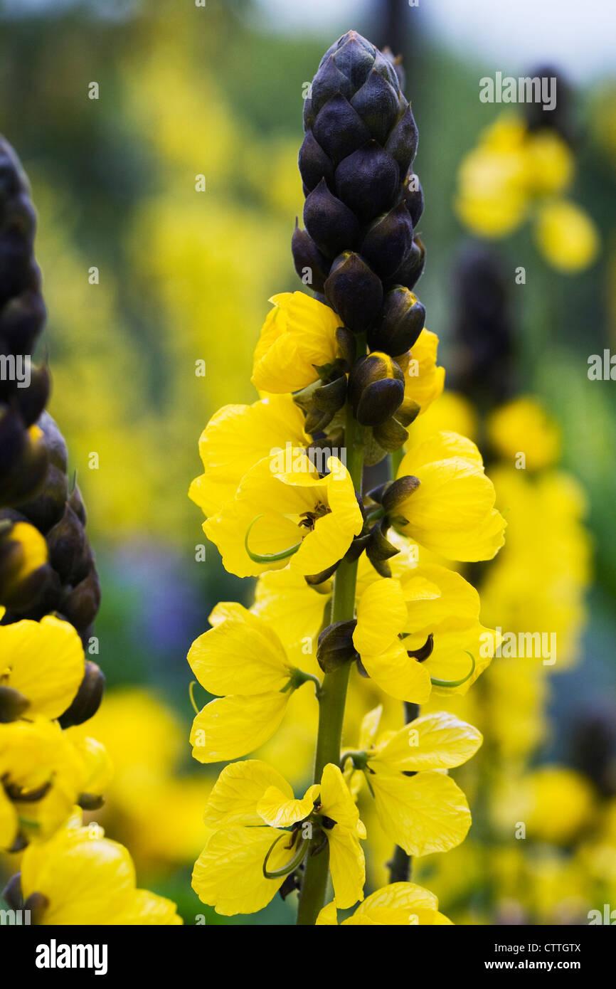Senna didymobotrya 'Irwin and Barneby'. Popcorn senna. - Stock Image
