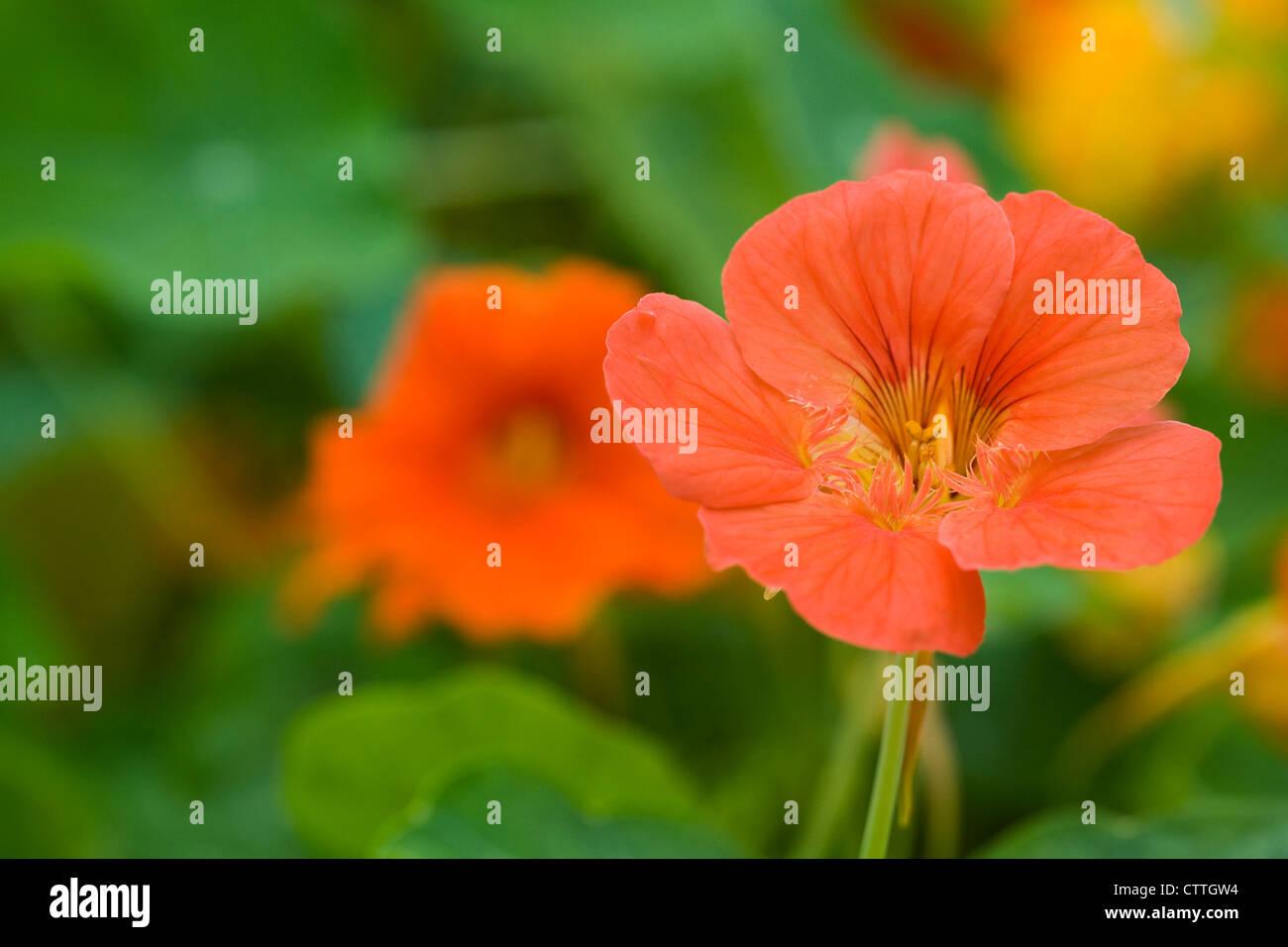 Tropaeolum majus. Garden Nasturtium. - Stock Image