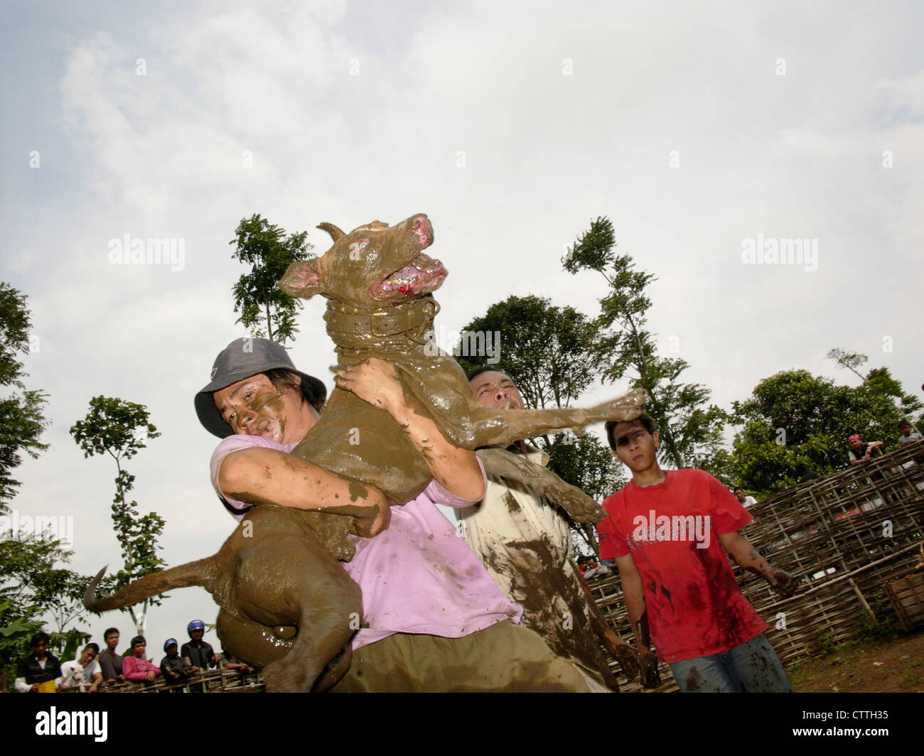 An owner carries his attack-dog out of a public arena after it has mauled a wild pig during a boar-baiting contest - Stock Image