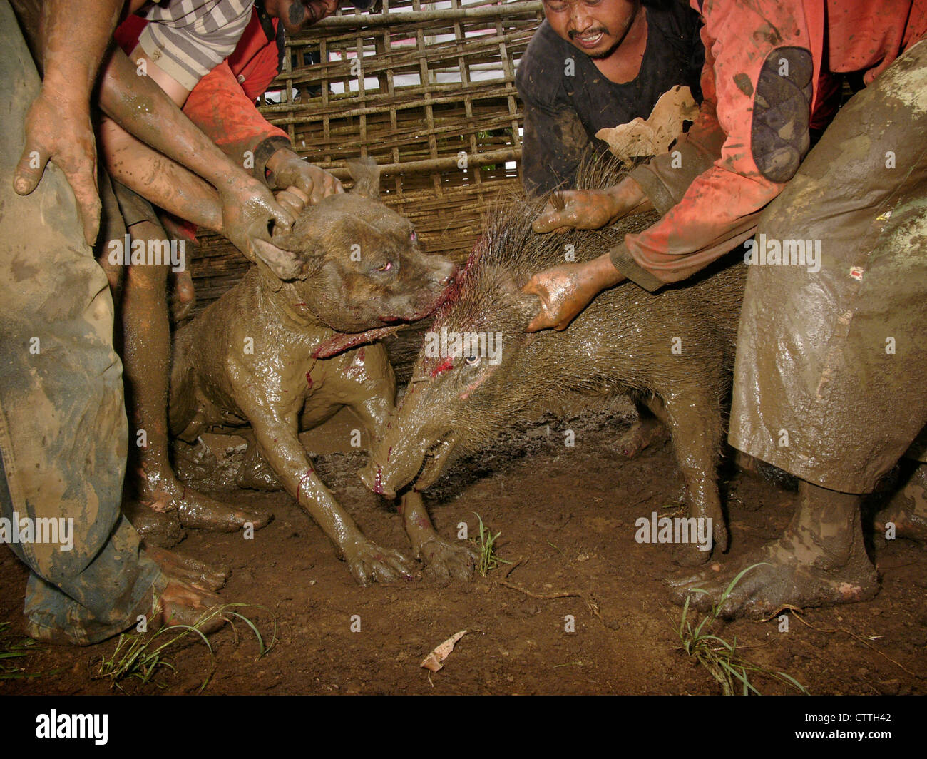 Owners encourage their attack-dog to maul a wild pig during a legal boar-baiting contest in West Java, Indonesia. - Stock Image