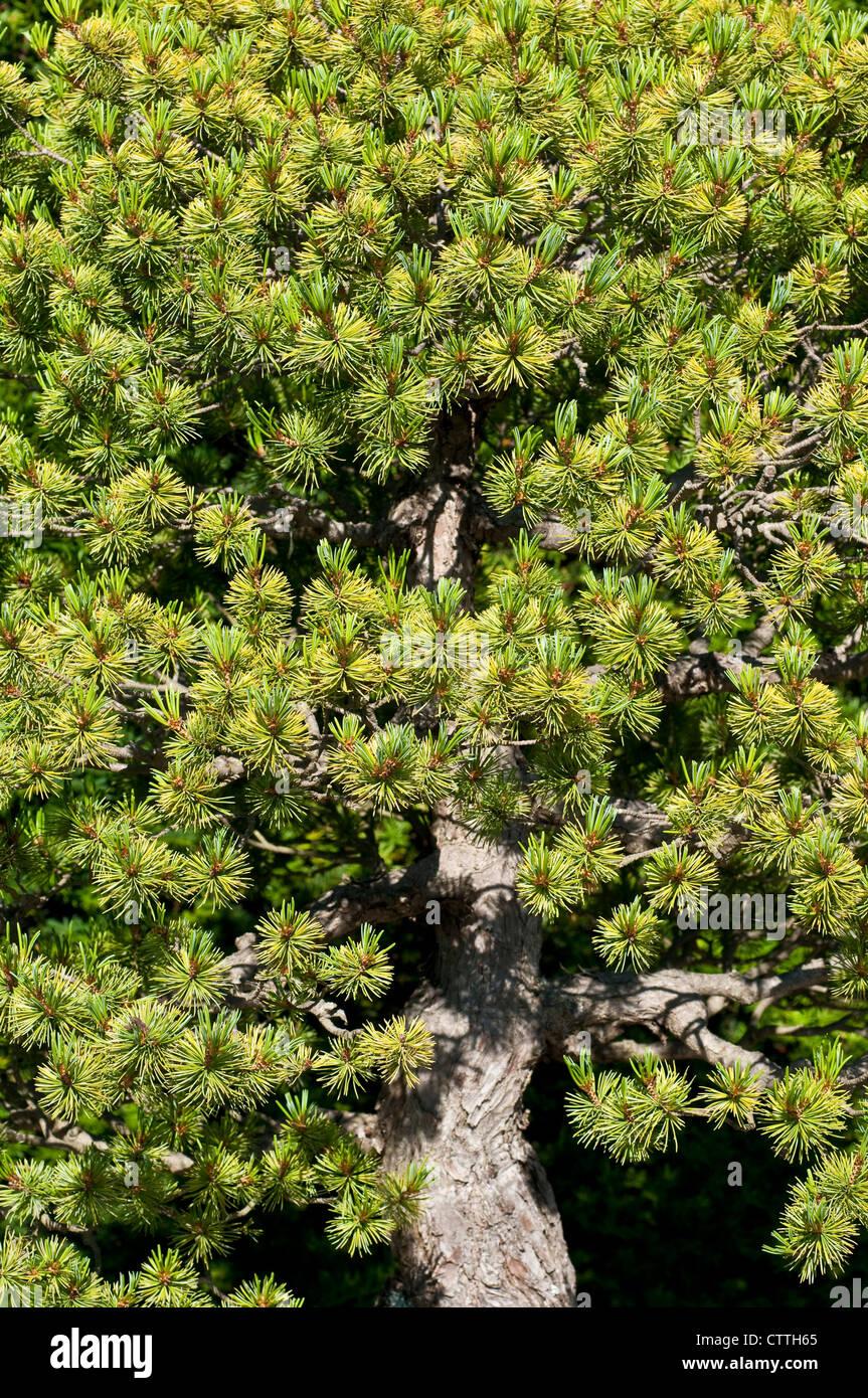 Bonsai tree - Pinus parviflora - Stock Image