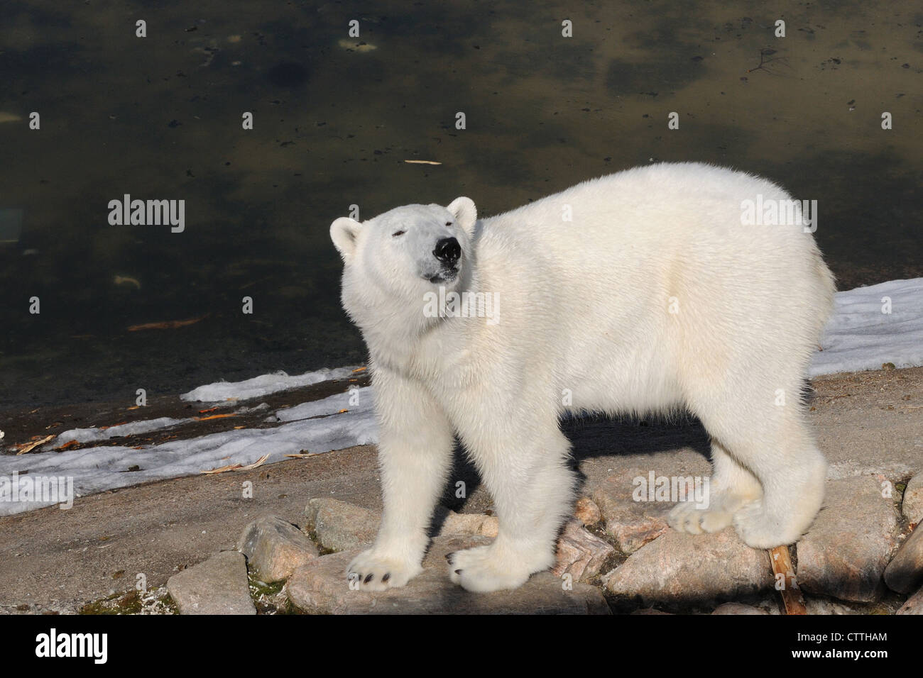 Polar Bear, Ursus maritimus, Artic Circle, Finland, Europe - Stock Image