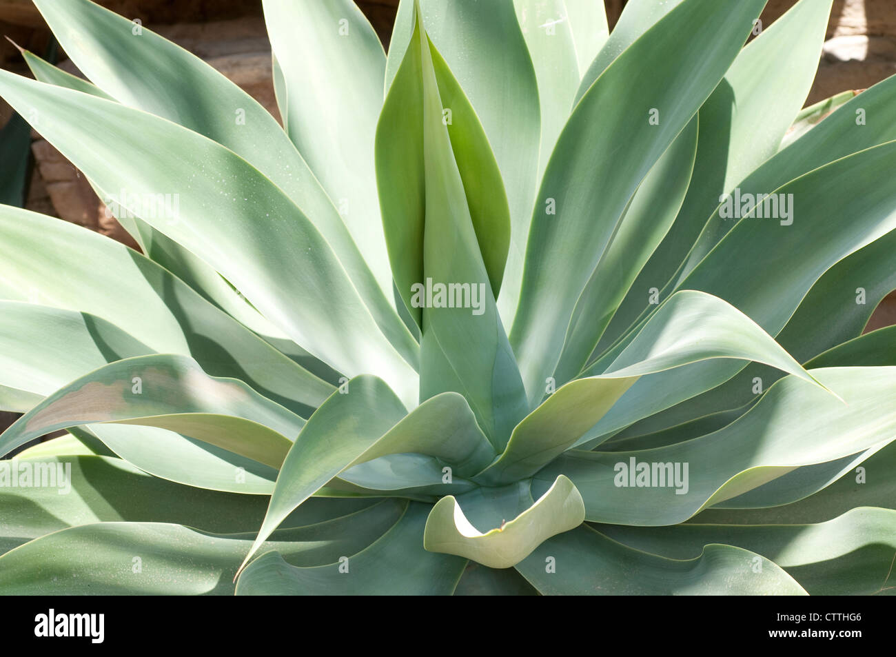 Agave attenuata plant - Stock Image