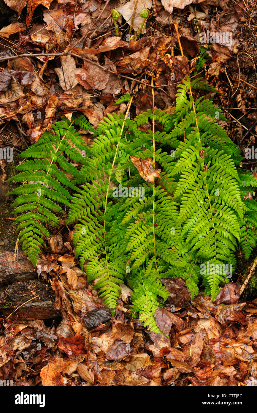 Wood ferns in spring woodland understory, Killarney, Ontario, Canada Stock Photo