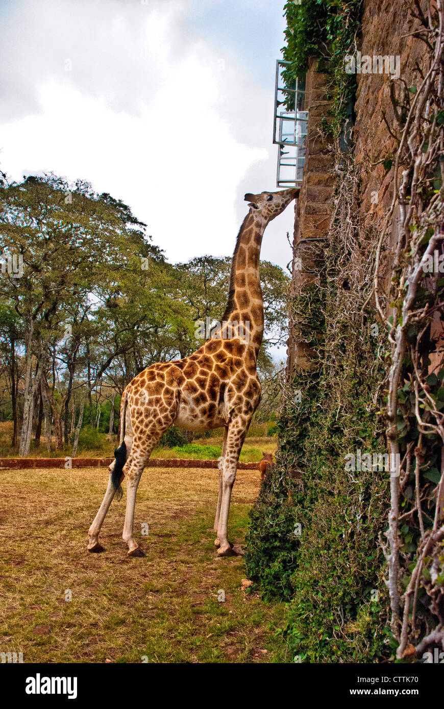Rothschild or Baringo Giraffe, Giraffa camelopardalis rothschild, being fed at a window of Giraffe Manor, Nairobi, - Stock Image