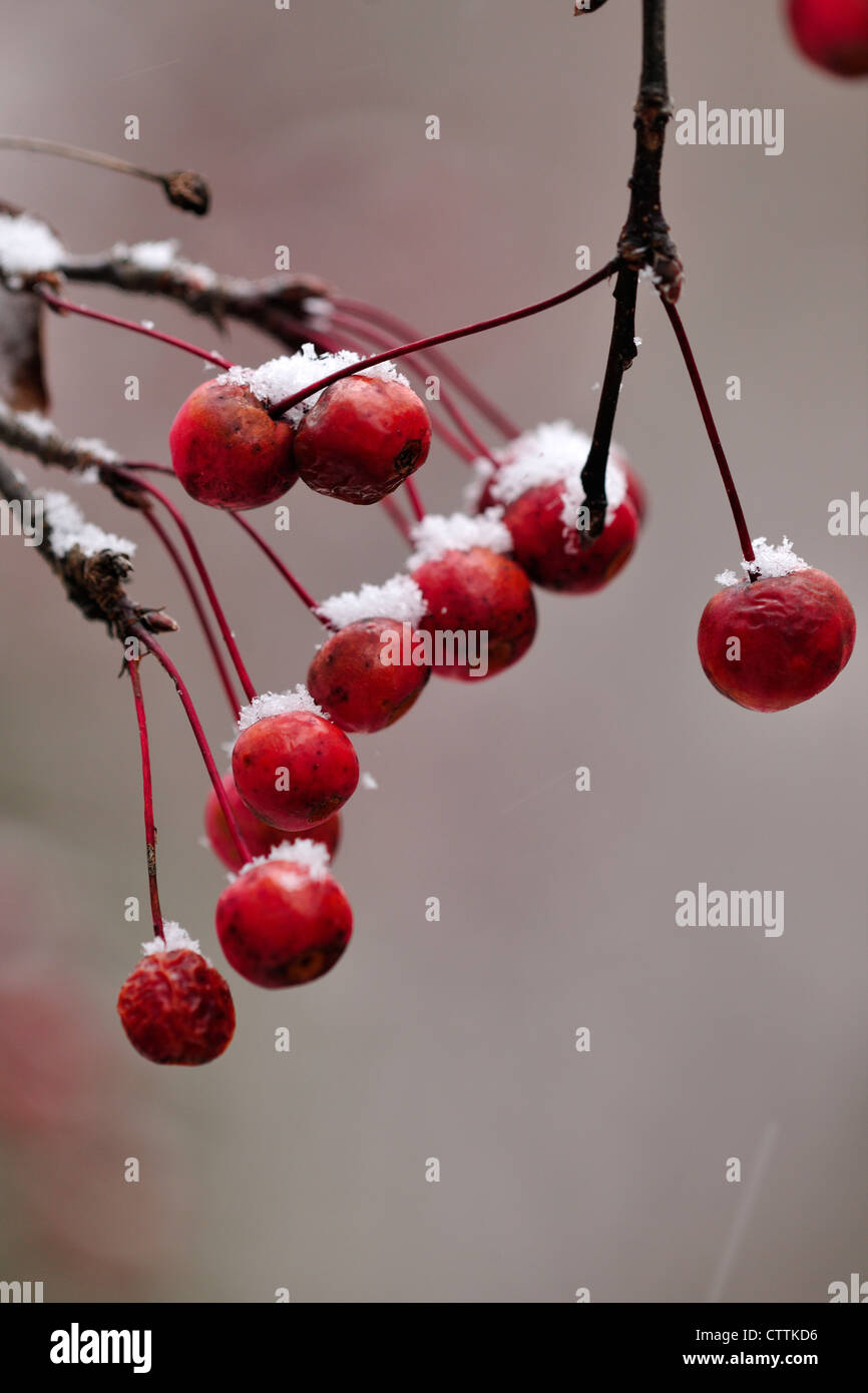 Crabapple tree fruit (Malus halliana) var. parkmani with a dusting of snow- late autumn, Greater Sudbury, Ontario, - Stock Image