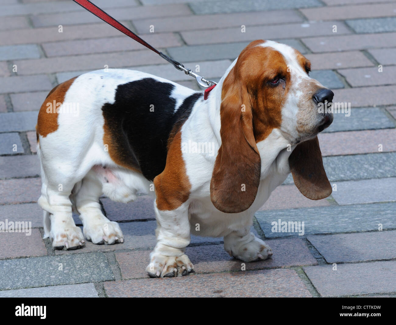 A Basset hound waits on his owner on modern cobble stones - Stock Image