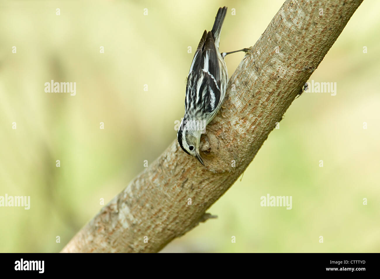 Black and White Warbler - hunting for insects Mniotilta varia South Padre Island Texas, USA BI022297 - Stock Image