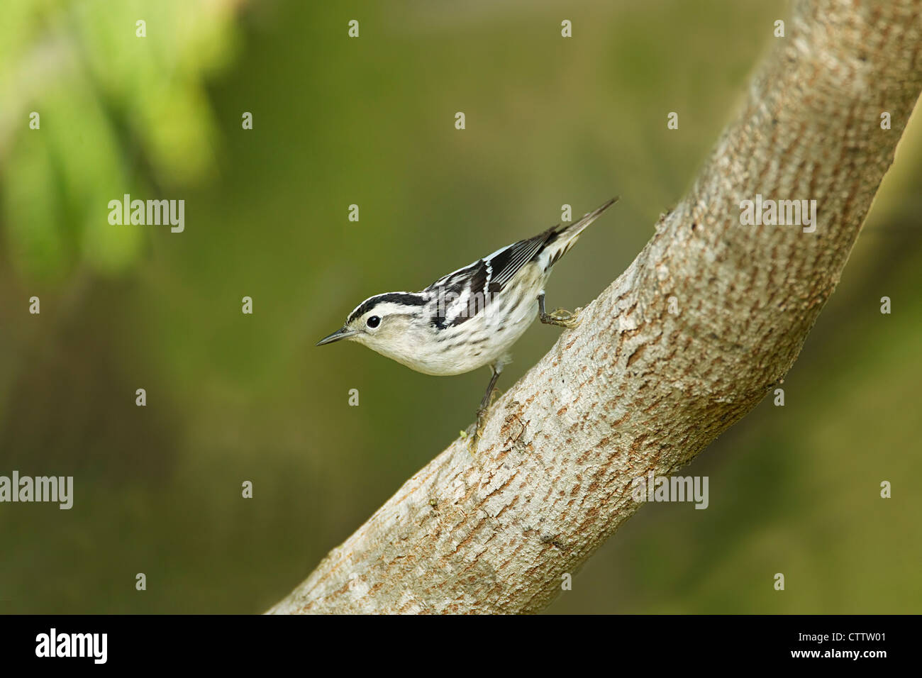 Black and White Warbler Mniotilta varia South Padre Island Texas, USA BI022300 - Stock Image