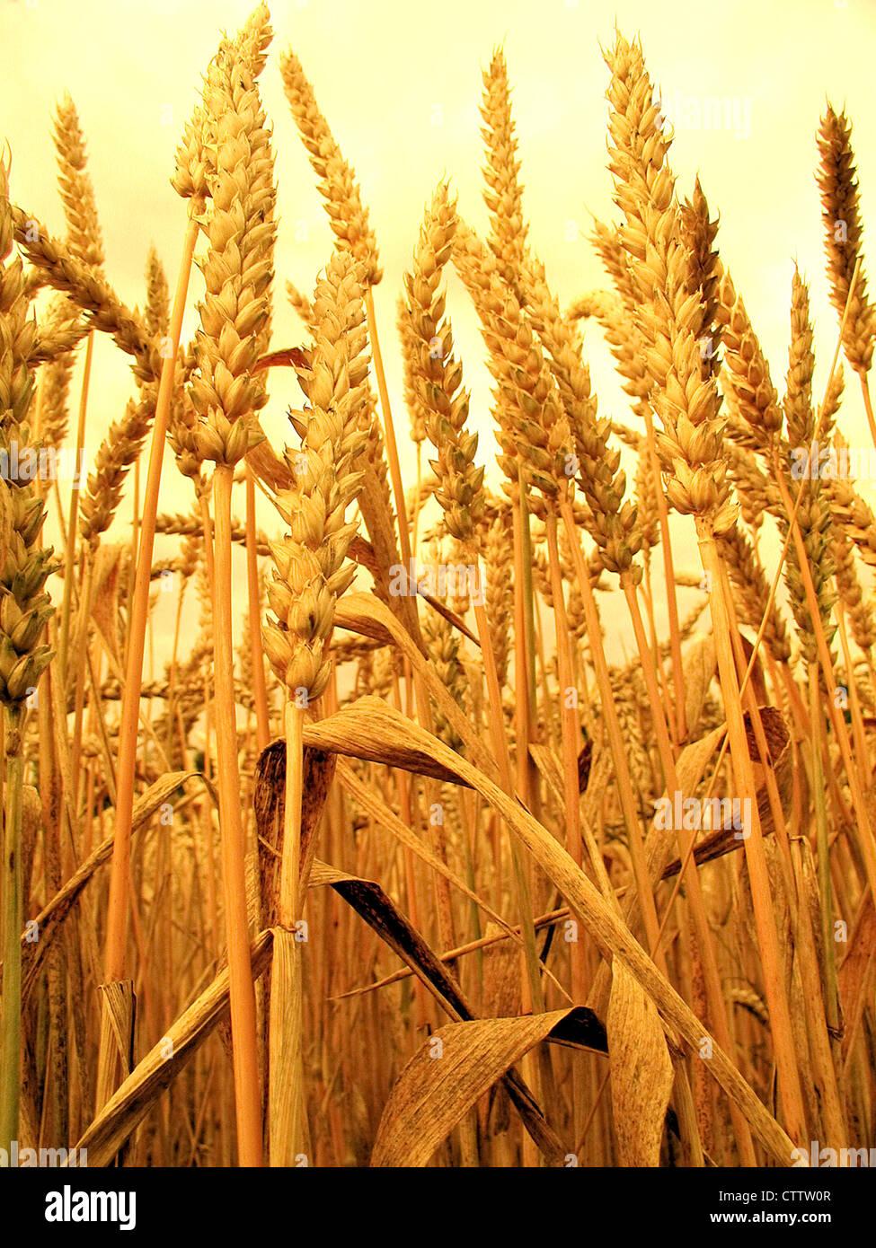 Wheat - Weizenähren - Stock Image