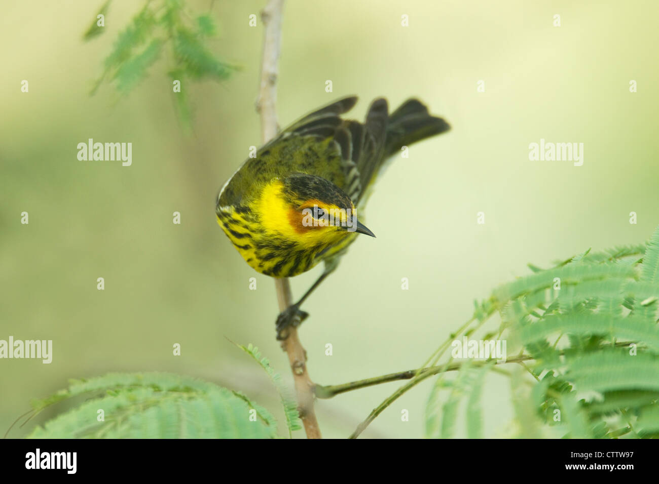 Cape May Warbler Dendroica tigrina South Padre Island Texas. USA BI022338 - Stock Image