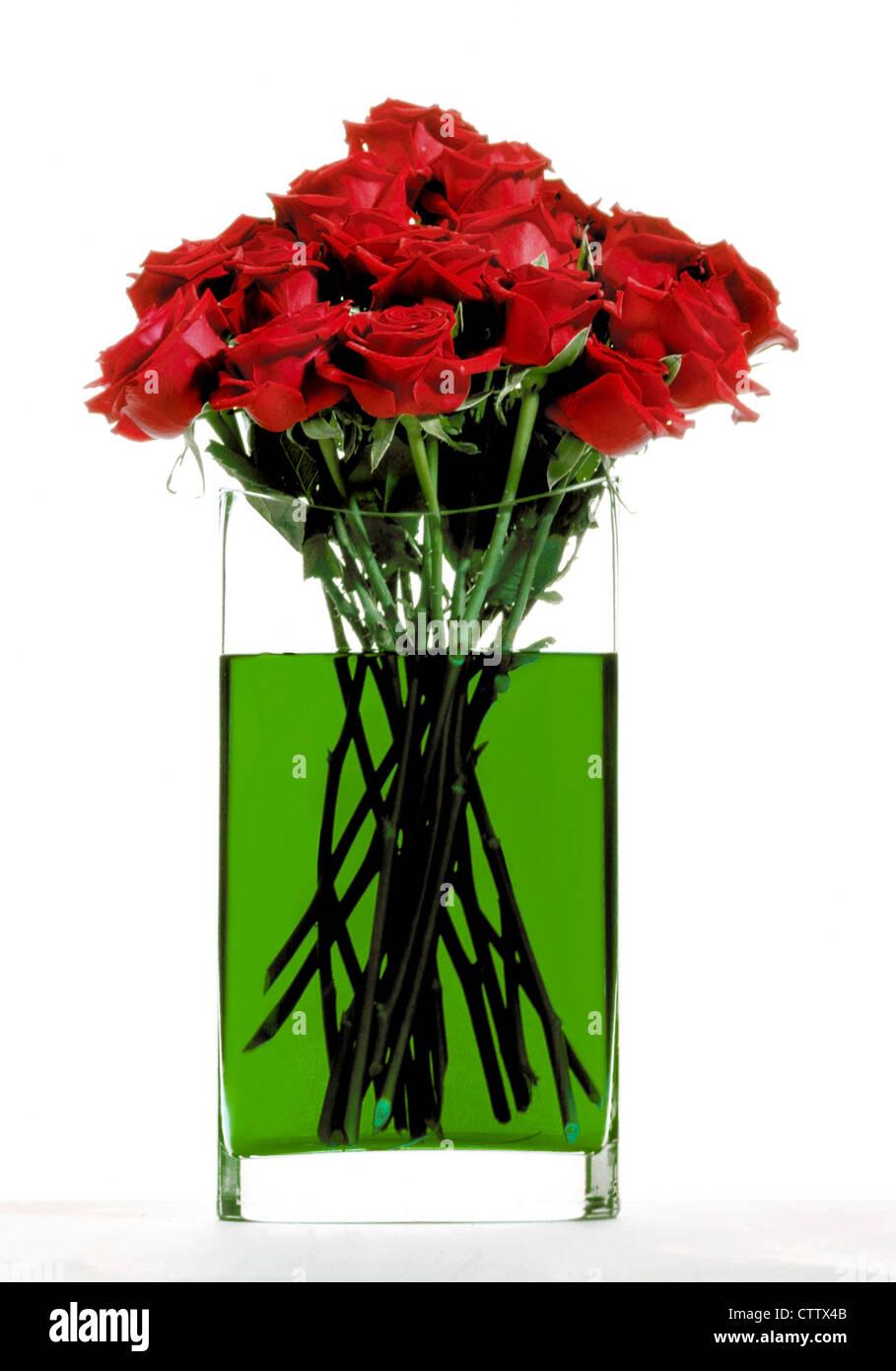 Red roses in green water - Rote Rosen in grünem Blumenwasser in Glasvase, Freisteller - Stock Image
