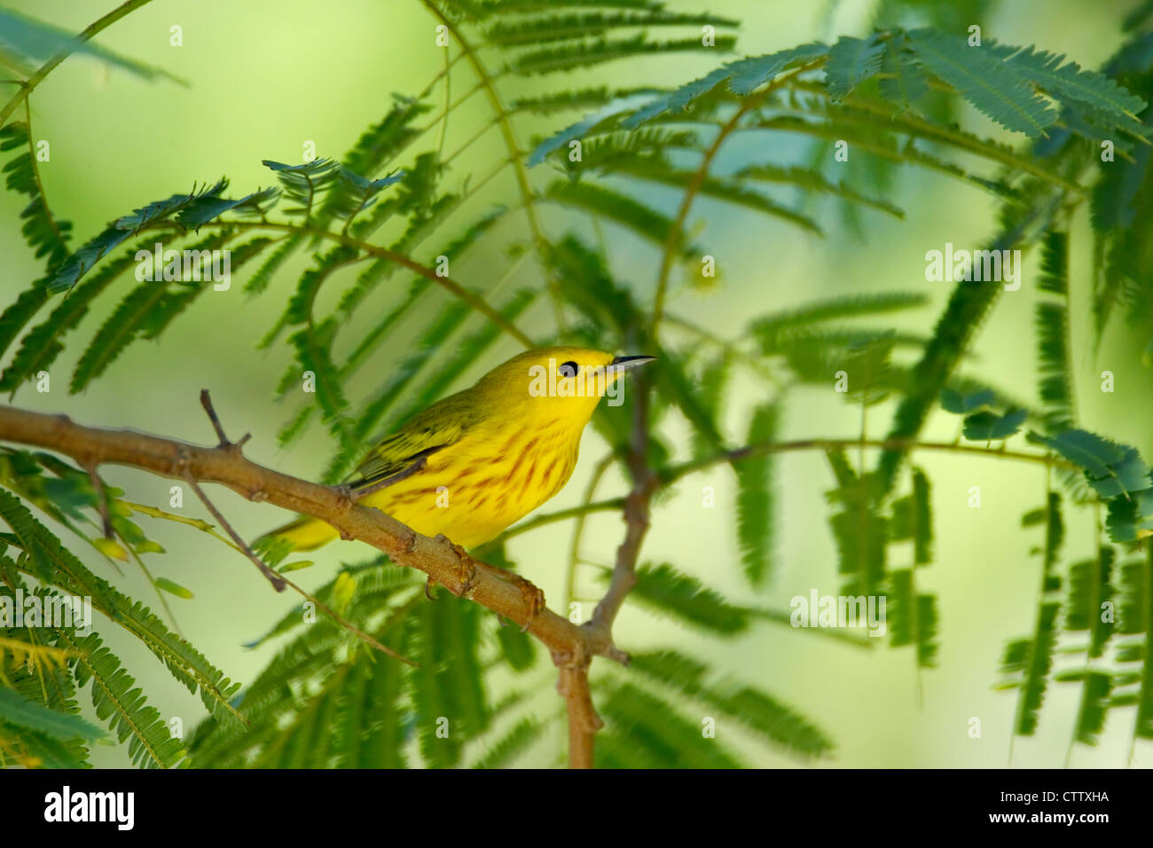 Yellow Warbler Dendroica petechia South Padre Island Texas. USA BI022470 - Stock Image