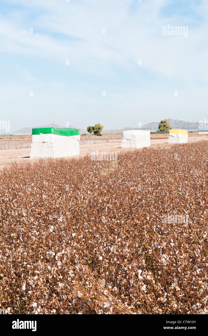 Cotton modules are shown with a harvested cotton field in the foreground. - Stock Image